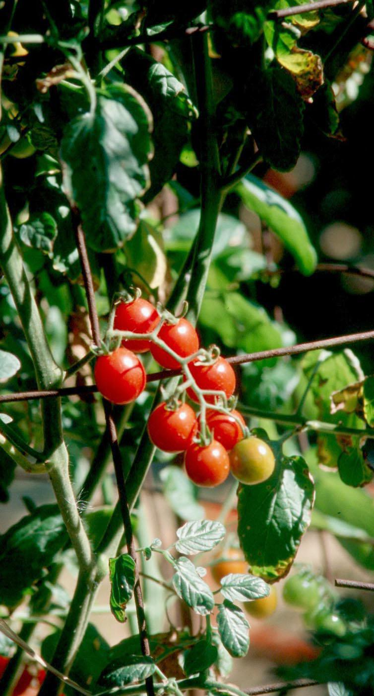 Mini Charm tomatoes will charm growers in the same way they impressed the Mississippi Plant Selections Committee for the Mississippi Medallion Awards.