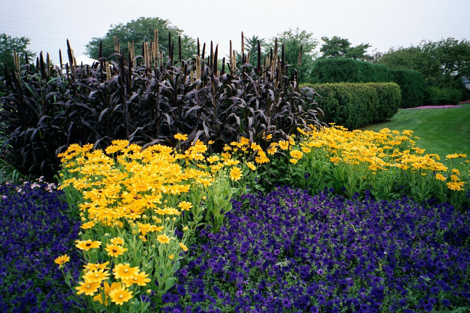 Purple Majesty ornamental millet provides an outstanding backdrop to these Prairie Sun rudbeckias and Blue Wave petunias.