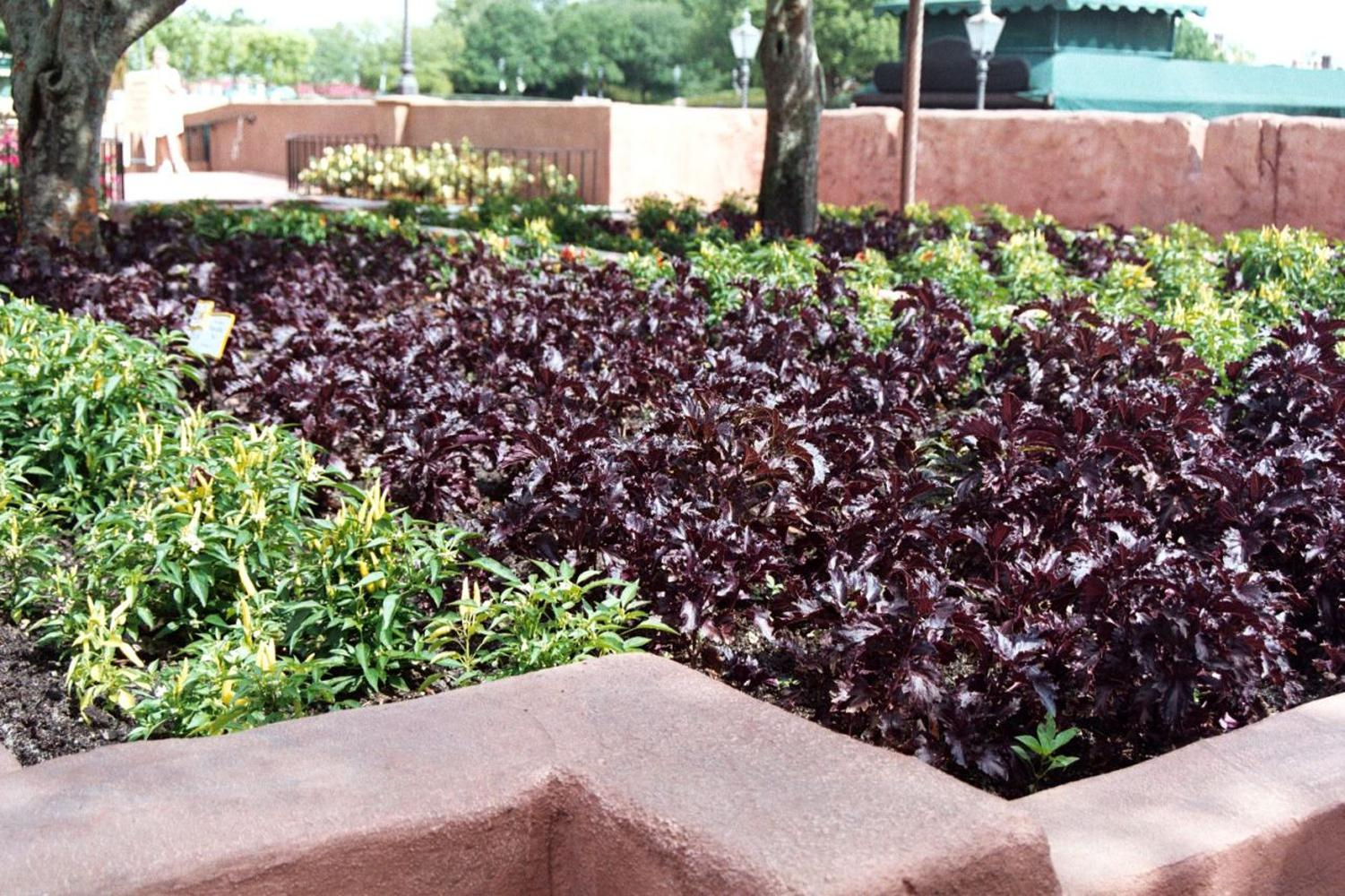 Purple Ruffles basil is as pretty as a coleus in the flowerbed, and it also makes a delicious addition to many culinary dishes.