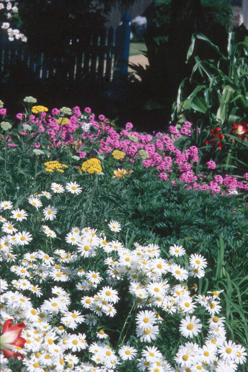 Ox Eye daisies add just the right touch to this bed of Gold Yarrow and verbenas.