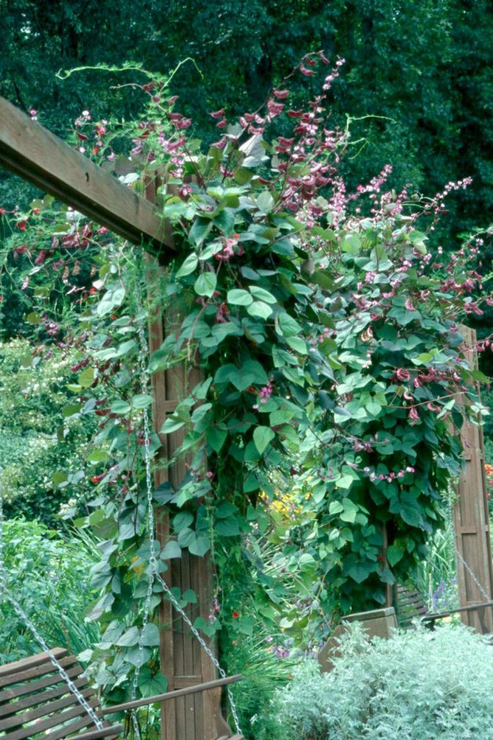 The hyacinth bean is an environmentally friendly vine to grow with low insect and disease pressures. Plant the seed adjacent to a sturdy support structure for climbing such as a fence, trellis or pergola.