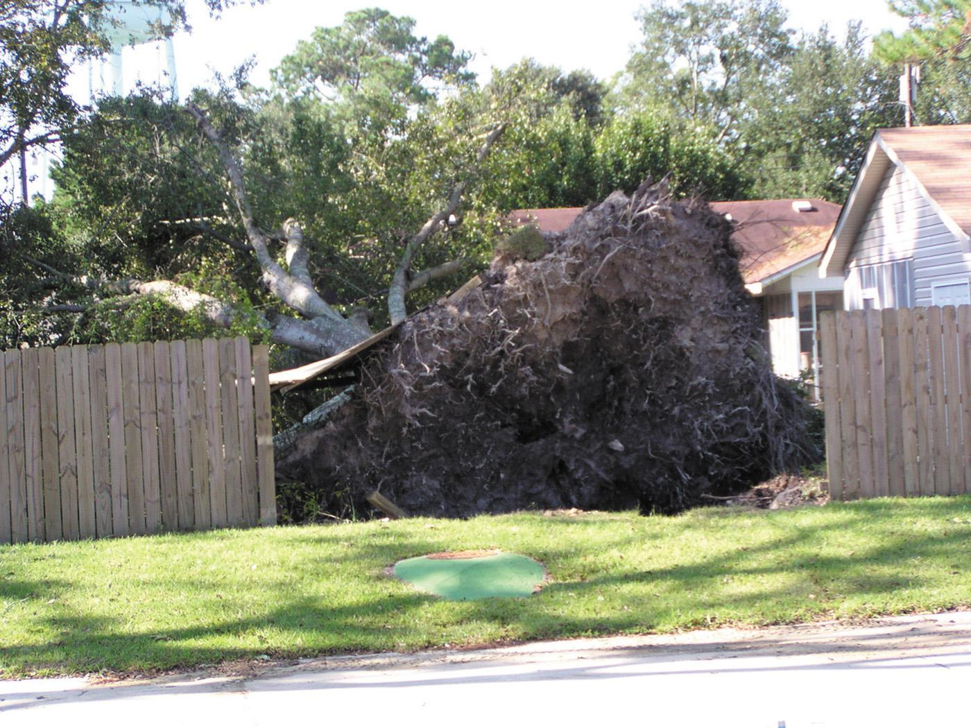 This Hancock County tree will not have the option of recovery, but immediate attention can help salvage very small trees blown over by Hurricane Ivan. (Photo by the Sea Coast Echo in Bay St. Louis, Miss.)