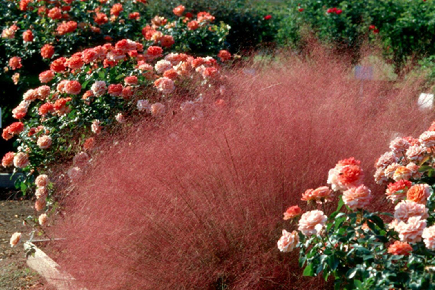 Muhly grass looks at home in any kind of garden.