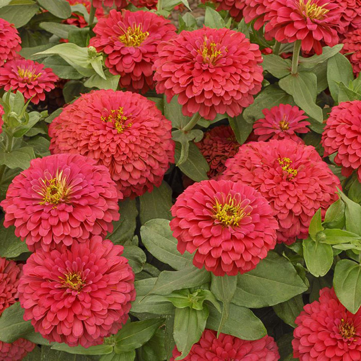 Zinnias looking hot for fall garden fest | Mississippi State ...