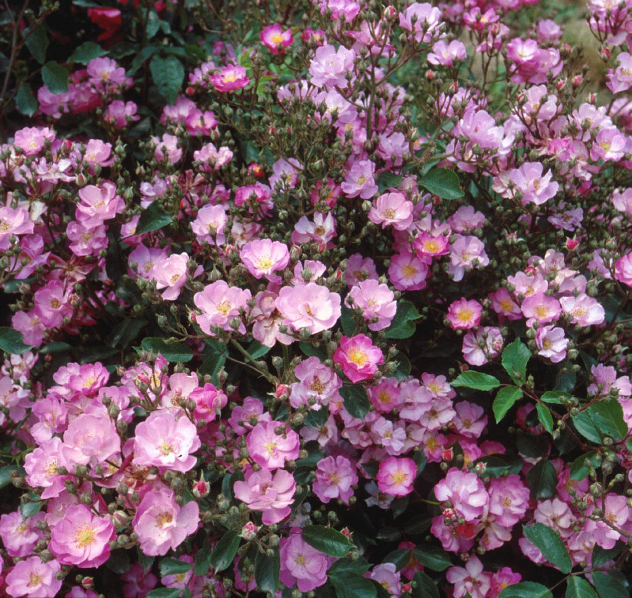 DayDream is a low-growing, compact landscape shrub rose reaching just 2 feet in height. A unique color in the shrub category, the massive clusters of lightly scented, fuchsia-pink blooms will flower all summer long. Foliage is glossy, deep green and highly disease resistant. DayDream's moderate size and neat, round habit make it an appropriate choice for a variety of garden situations.