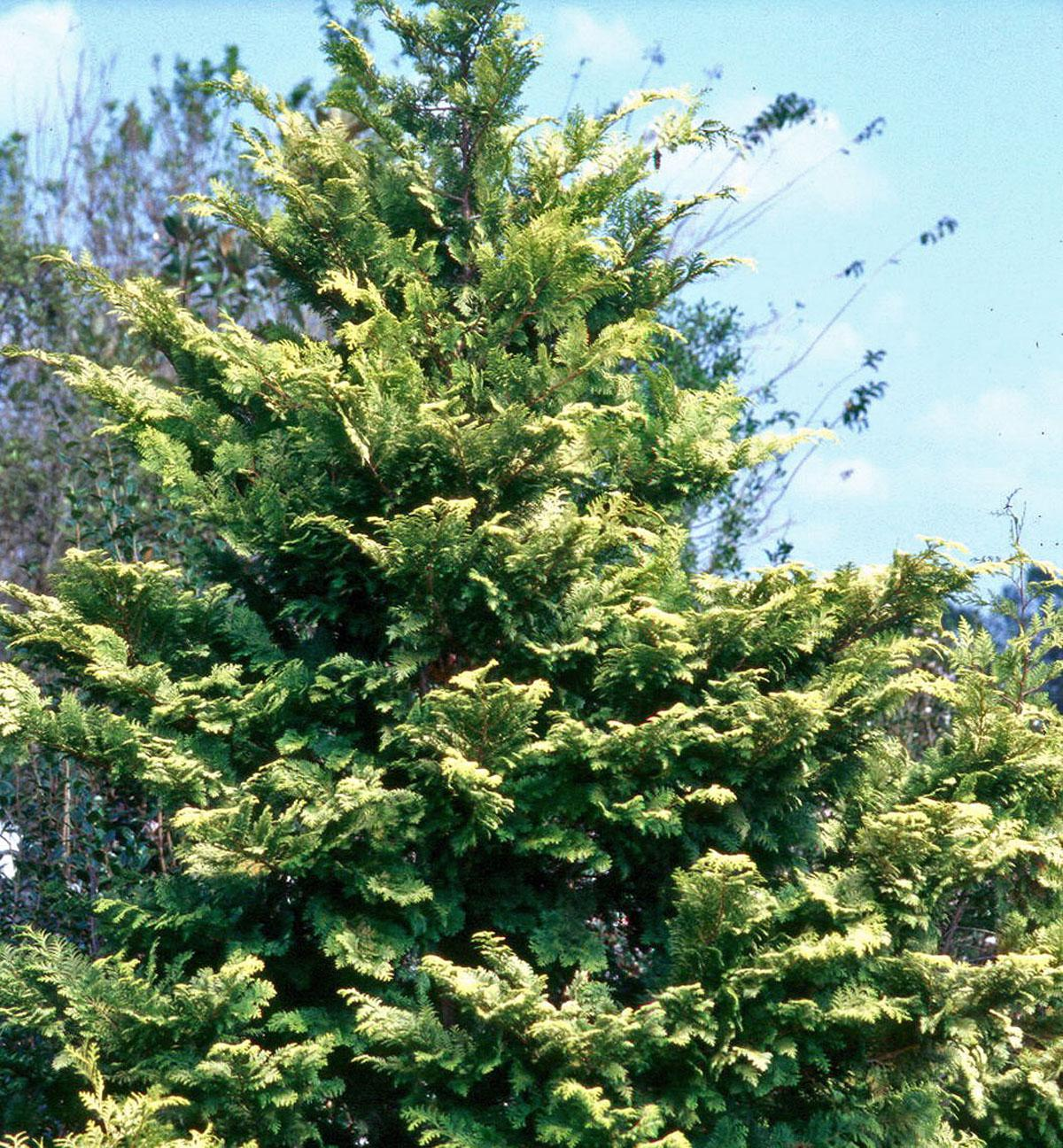 The Crippsii can grow to around 20 feet tall, but most are in the 10-foot range. The golden-yellow foliage really looks incredible during cold, dreary winter weather.