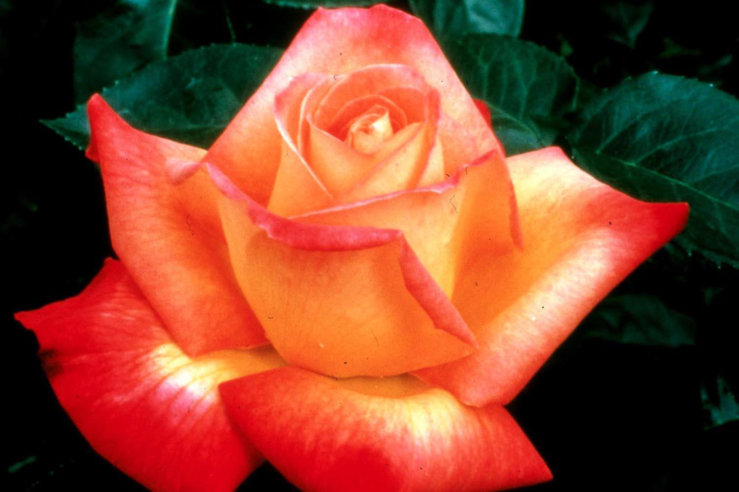 The hybrid tea, like this Love & Peace, is the most popular rose for its form, beauty and cutting ability.