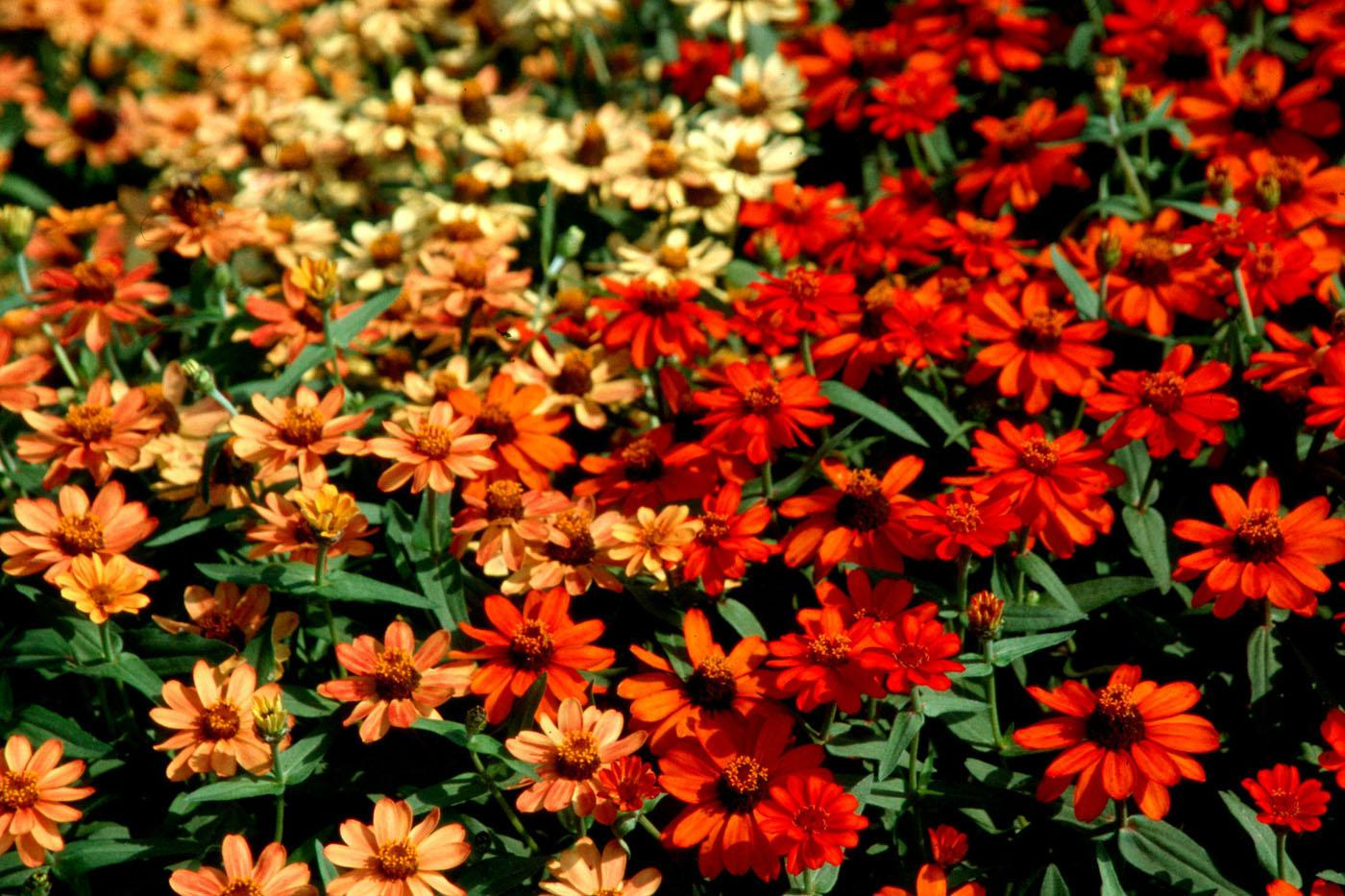Flower beds will come ablaze when Profusion Fire zinnias are mass planted.