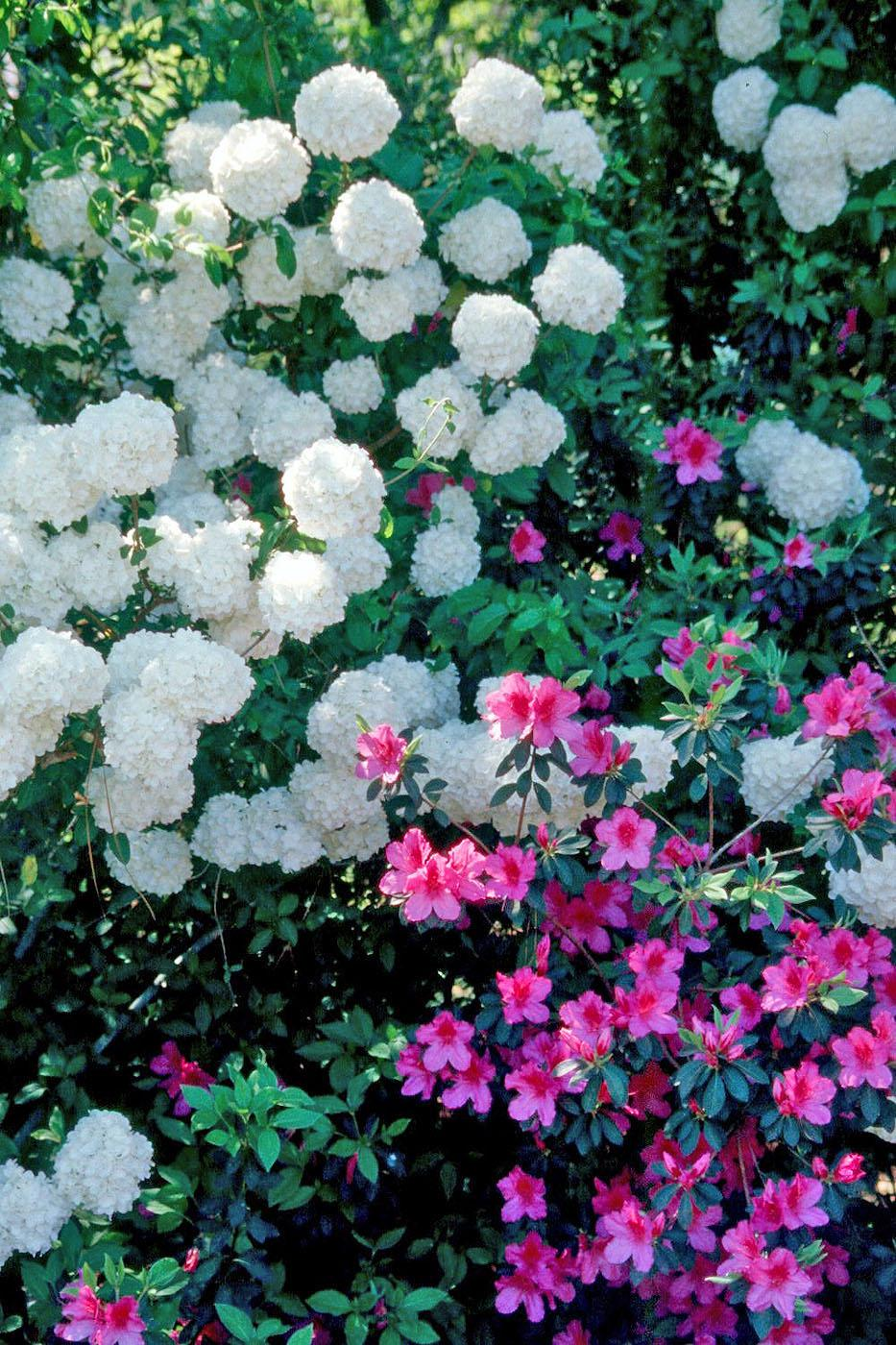 The snowball viburnum produces 6- to 8-inch glistening white blossoms. While three or four flowers would make a dramatic statement, the Chinese snowball produces them by the scores.
