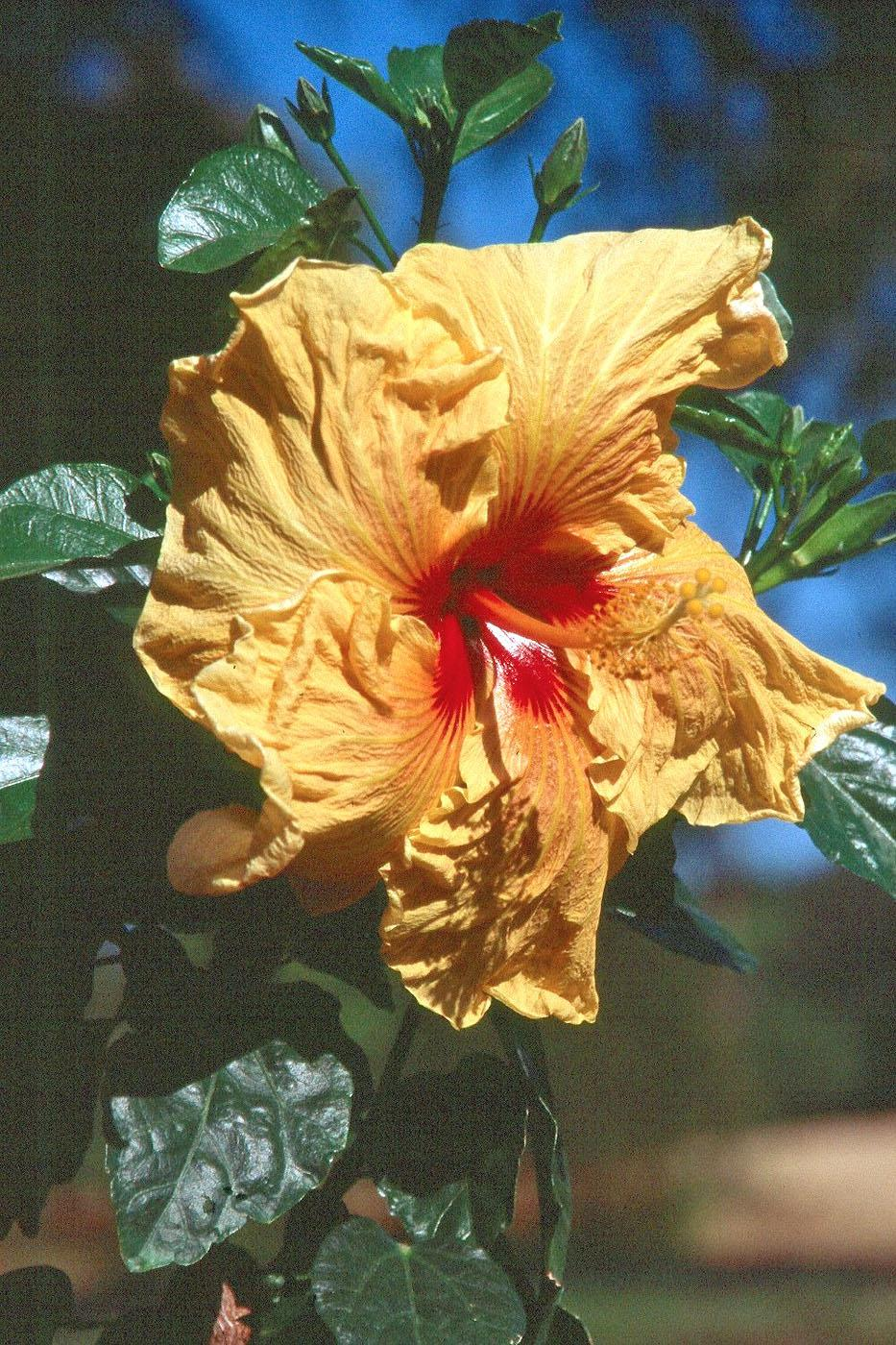 With spectacular-colored flowers and contrasting dark green foliage, the new Cajun series hibiscus wowed visitors to the Jackson Garden and Patio Show. There are now more than 20 selections, such as the Fais Do Do pictured, in the Cajun series.