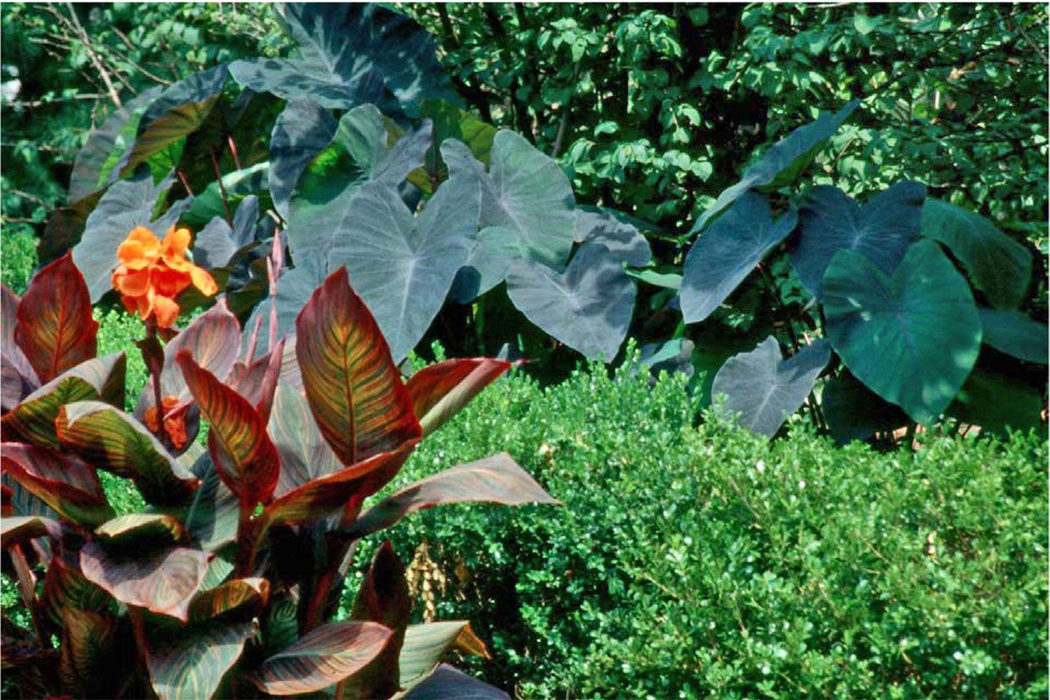 Elephant Ears Add A Tropical Flair To Gardens Mississippi State