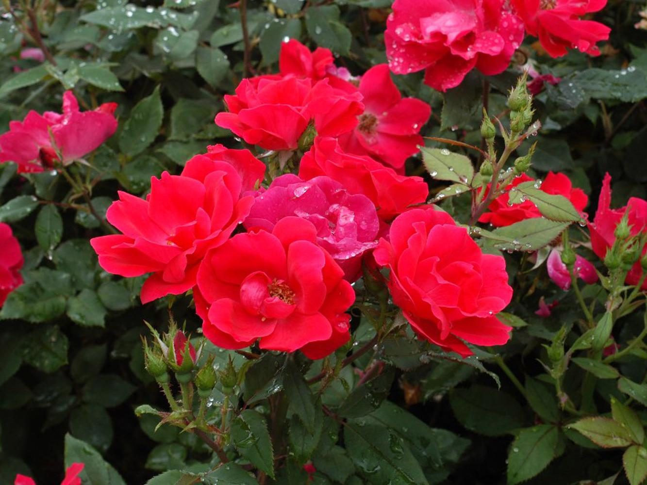 Knock Out roses have been added to this year's garden at the Truck Crops Experiment Station in Crystal Springs. You'll see them blooming as well as have the opportunity to buy them from vendors during the 27th annual Fall Flower and Garden Fest.