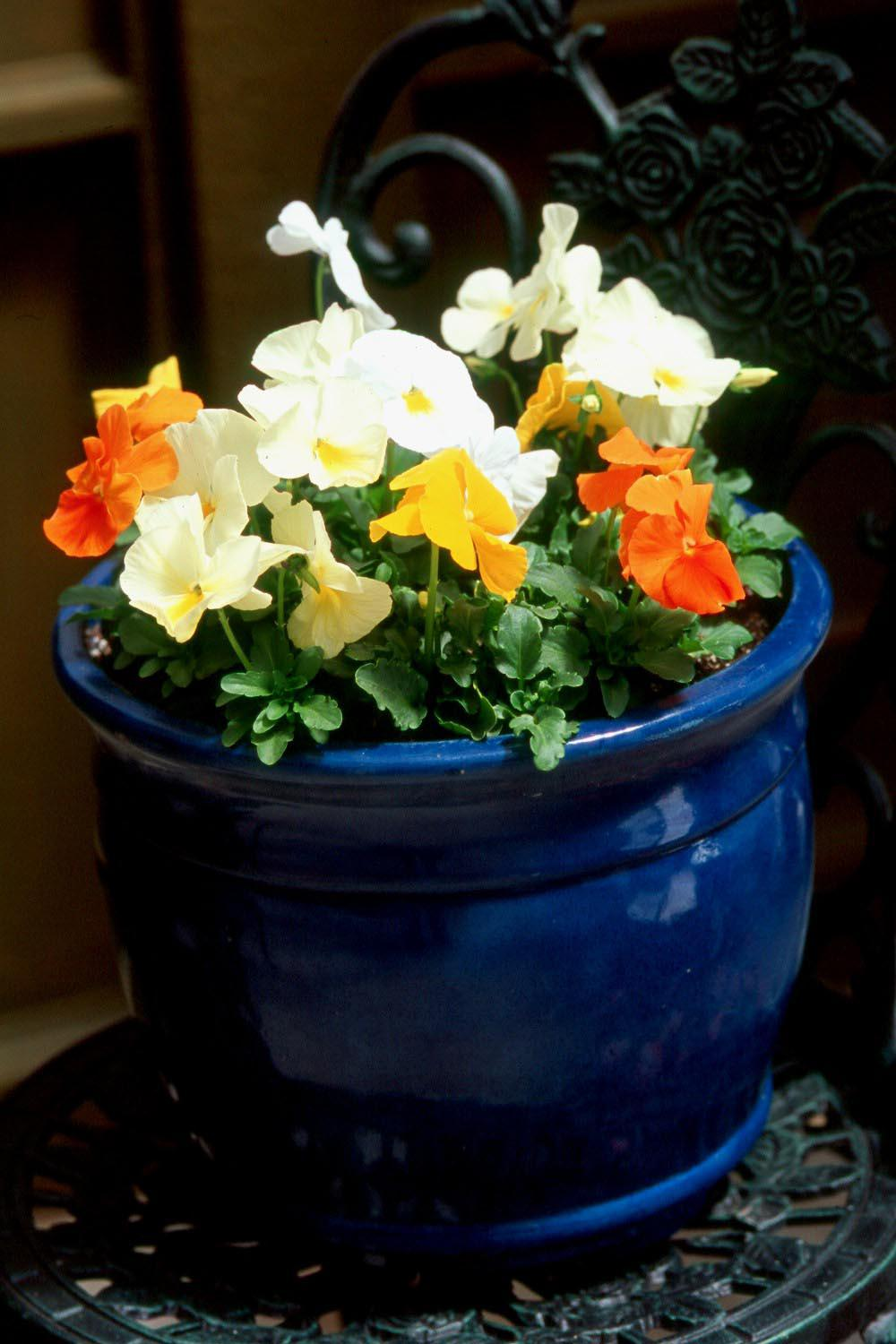 The Matrix series of pansies are large-flowered with 12 colors and four mixes available. They come with blotches and clear-faced, and with this many varieties, are sure to have a color to suit any palette.