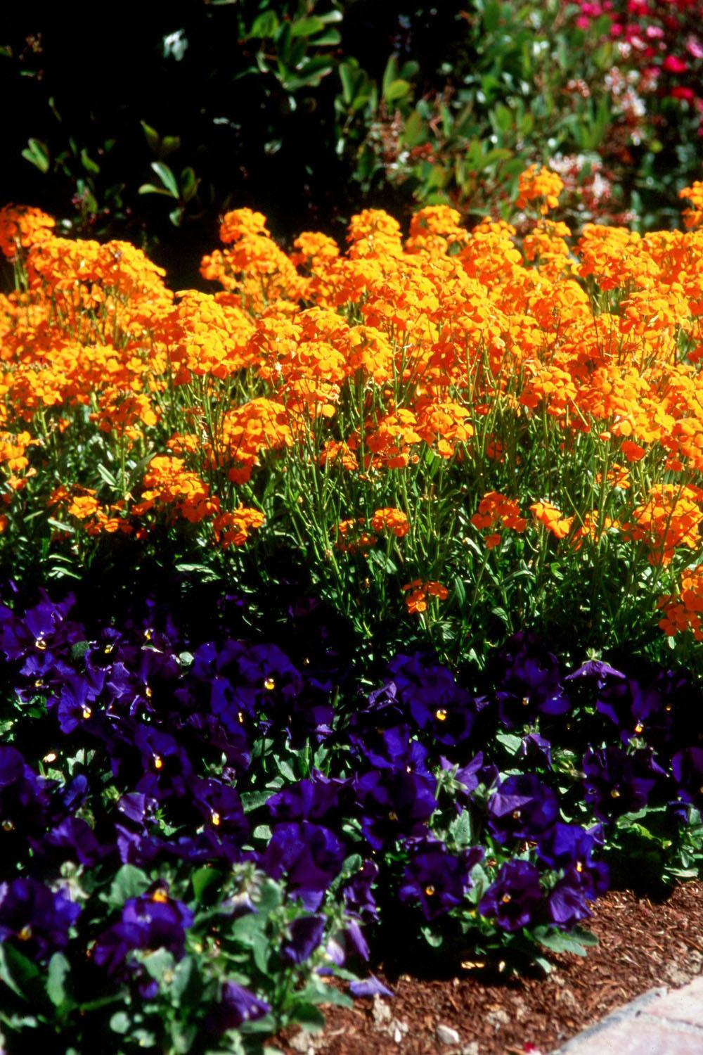 Citrona Orange will stop traffic with displays such as this one as it towers over Matrix Blue Blotch pansies.