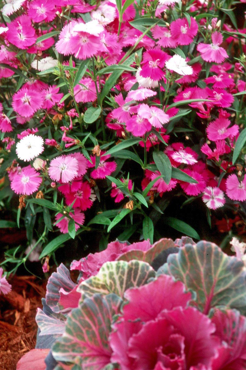 New Dianthus Varieties Promise To Add Dazzle Mississippi State