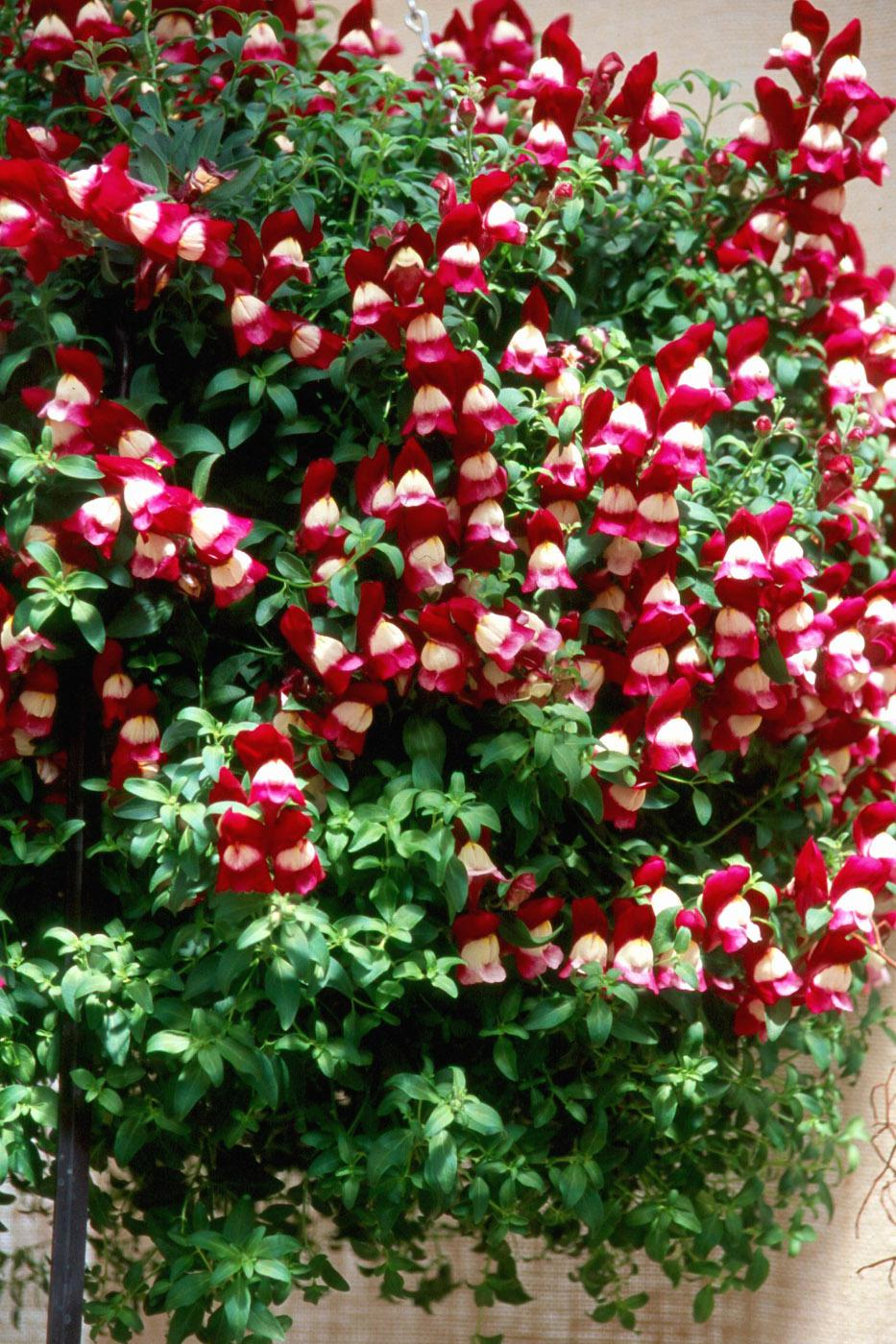 Visions of sugarplums take on a new meaning when people see this snapdragon variety called Sugarplum. A part of the Luminaire series, Sugarplum is vigorous and ideally suited in hanging baskets.