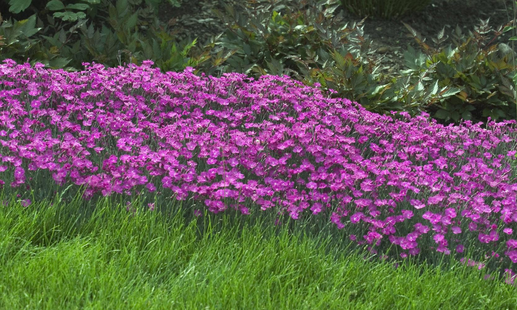 Firewitch named 2006 perennial of the year mississippi for Perennial ground cover with pink flowers