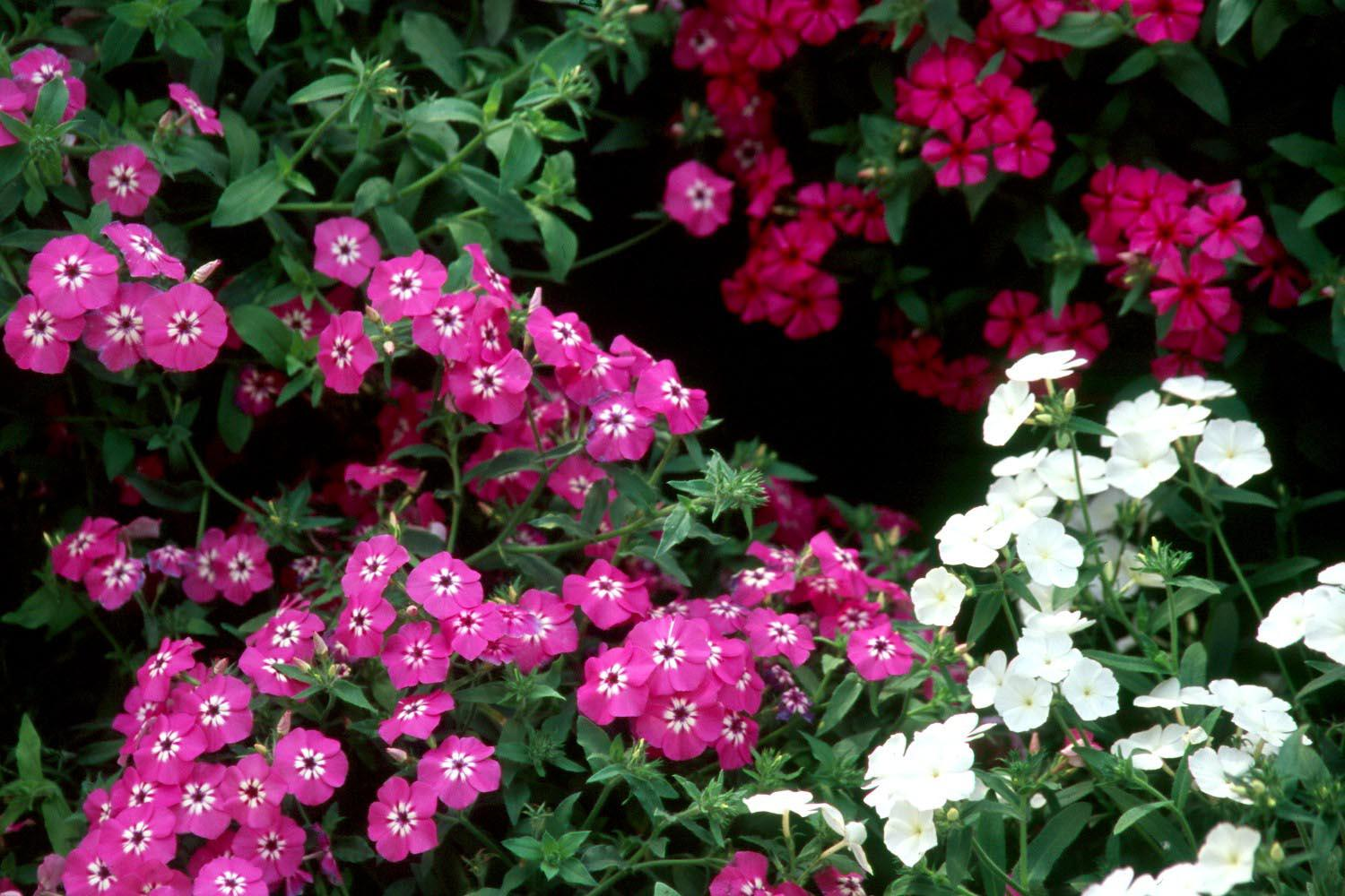 The Intensia phlox series blooms from early spring until fall frost. Because of this long bloom season, the bright colors of Lavender Glow, Lilac Rose, Neon Pink and Cabernet have an endless choice of companion plants.