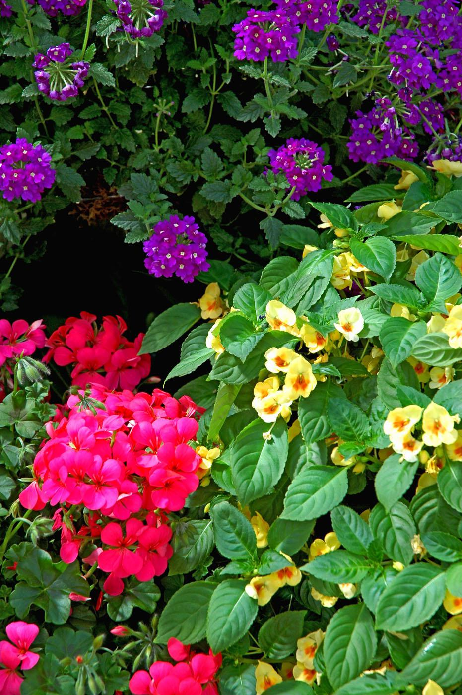 Fusion Glow impatiens have blossoms that are yellow with an orange and yellow bi-colored center. They look beautiful here with Aztec Violet verbena and Galleria Deep Rose geranium.