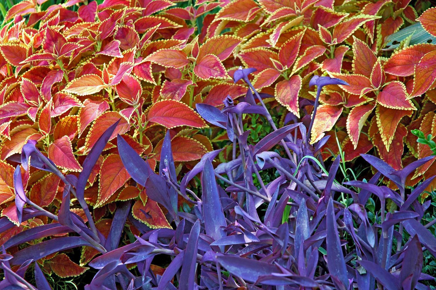 The Rustic Orange coleus produces a striking contrast when planted with the perennial Purple Heart, a vining plant sometimes called Setcresea.