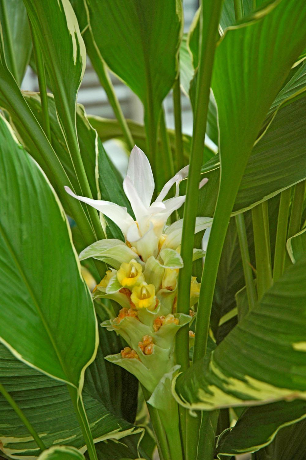 This ginger, known as Emperor, will royally impress viewers with its creamy yellow variegation on the margins of dark green leaves. The blooms, or bracts, look like porcelain. The petals gradually drop on the older portion of the bloom until yellow cups remain.