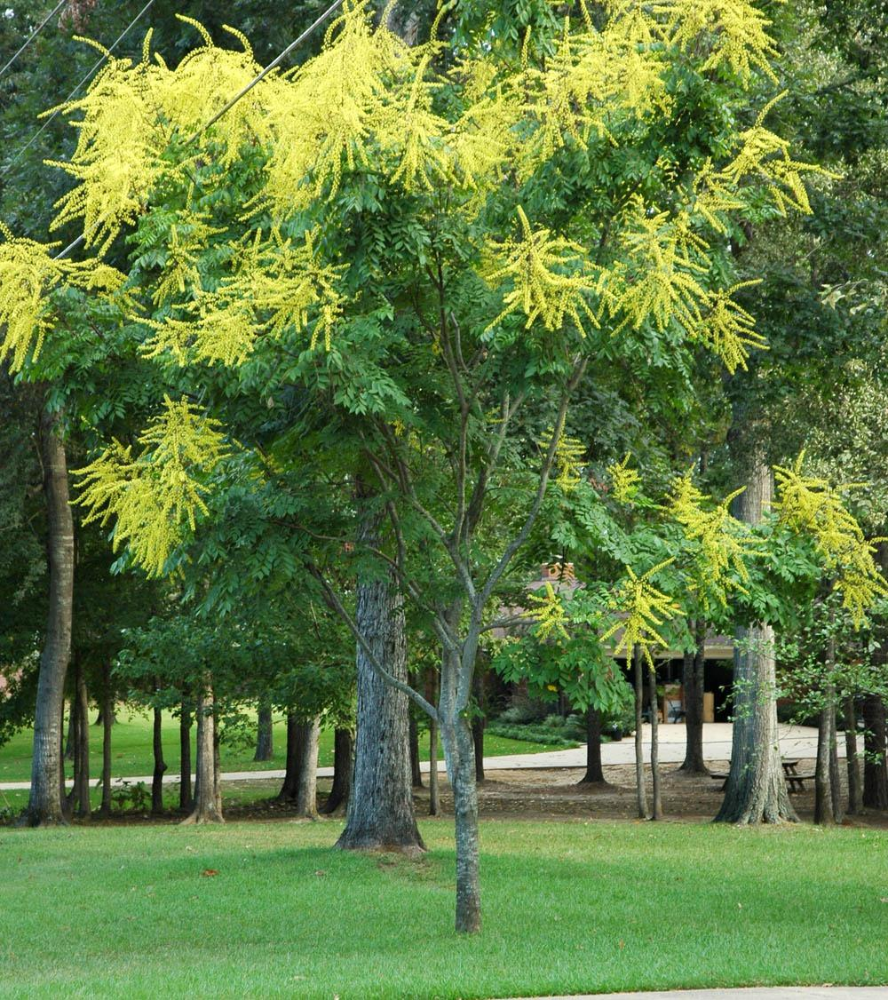 Goldenrain Tree Can Make Anyone Jealous Mississippi State