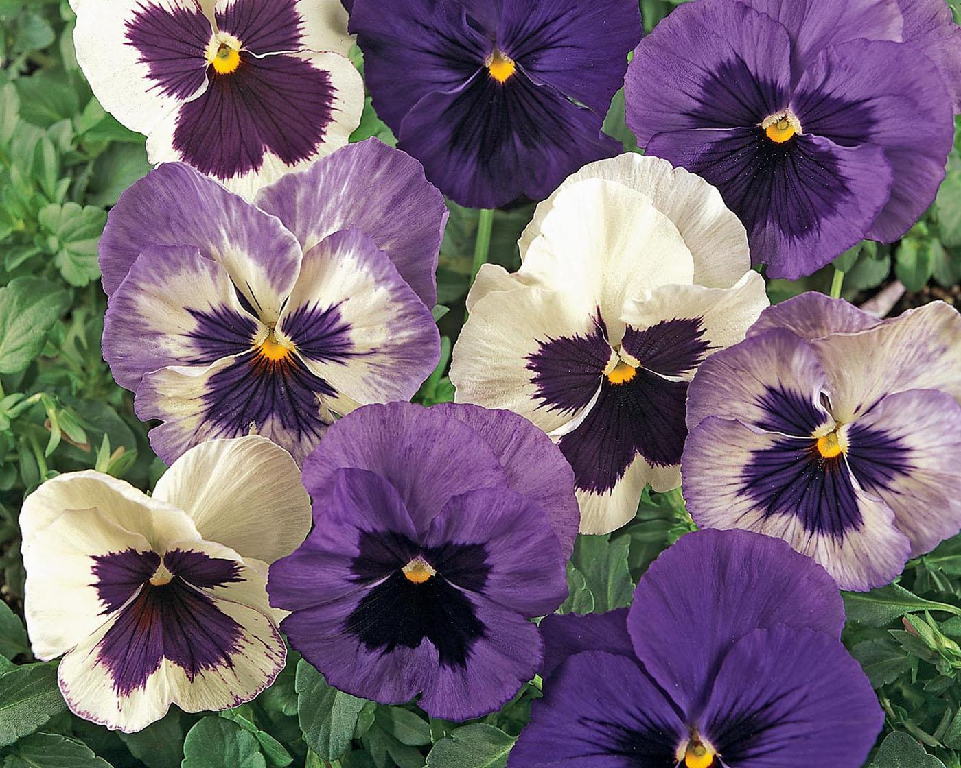 The Ocean Breeze pansy mix is made up of various shades of blue, lavender and white. Like the Coastal Sunrise mix, these pansies are in the popular new Matrix series.