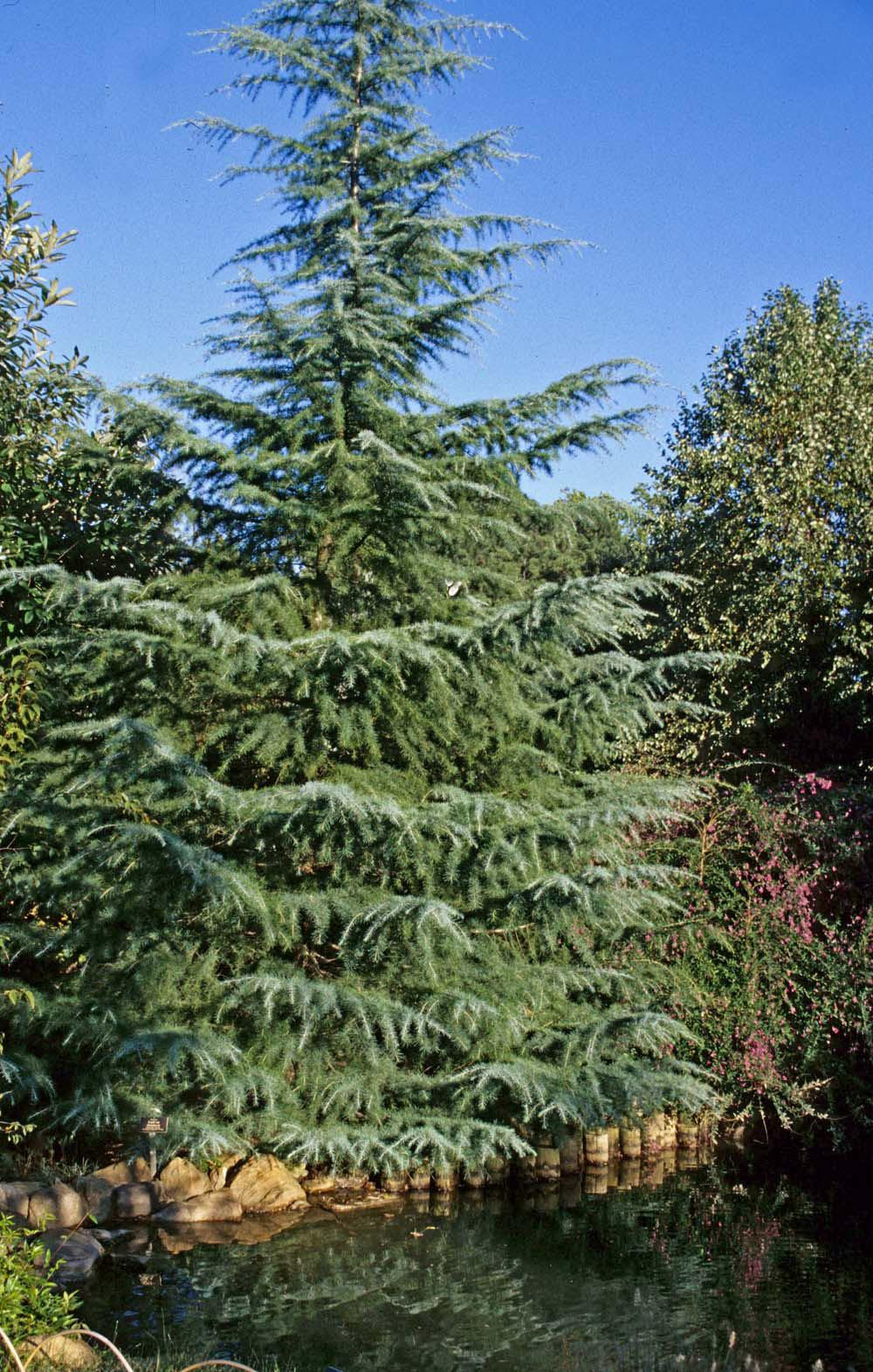 The deodar cedar is a large, stately conifer that makes a big impact in winter landscapes with its evergreen color. Lower branches bend gracefully downward and up again, and are covered in needle-like, silvery blue-green leaves about two inches long.  Deodars grow into handsome specimen trees.