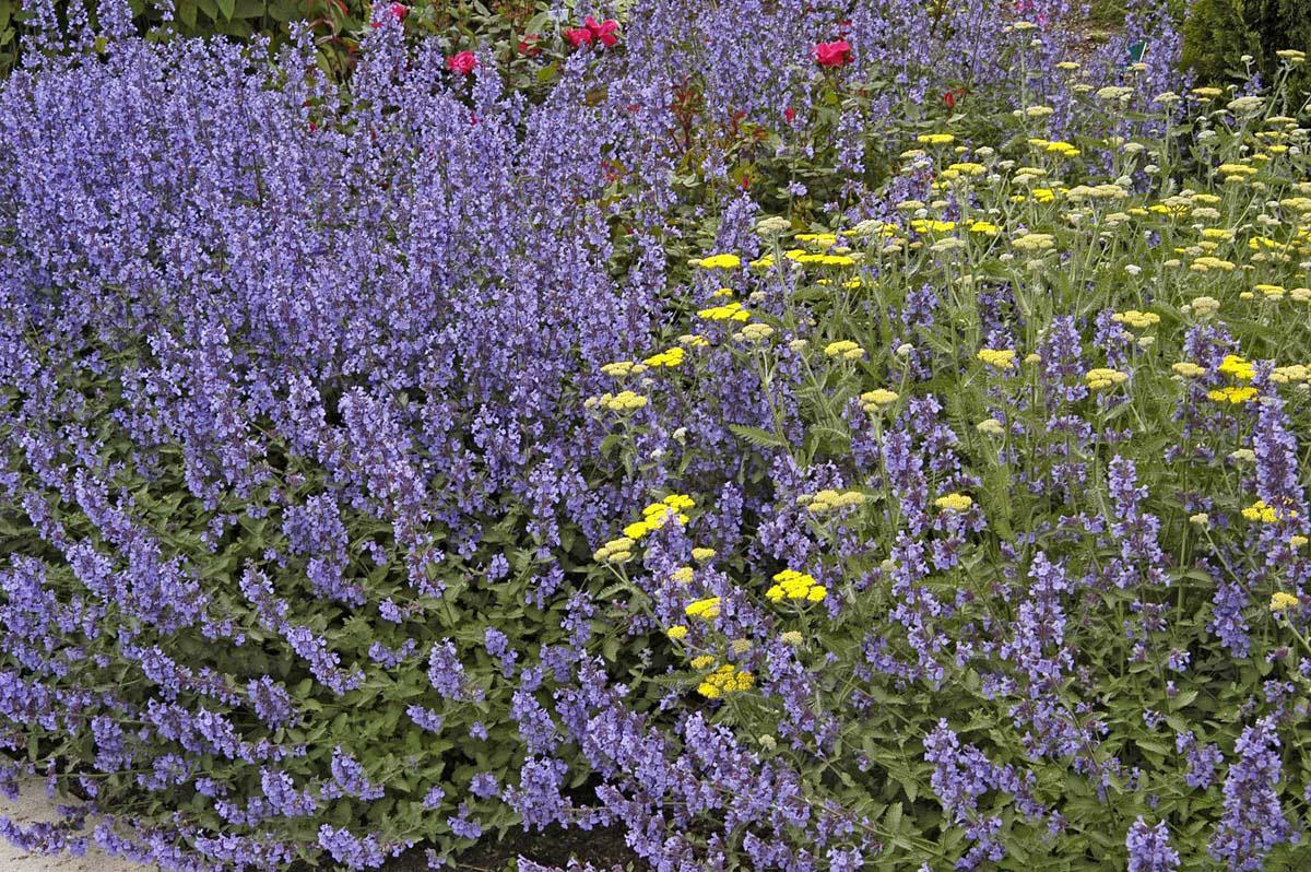 Walker's Low catmint has crinkled, aromatic, silver-green foliage and blooms almost continuously from May until frost if pruned back by two-thirds when initial flowers fade. In a wildlife garden, the catmint will be visited by a constant array of bees and butterflies.