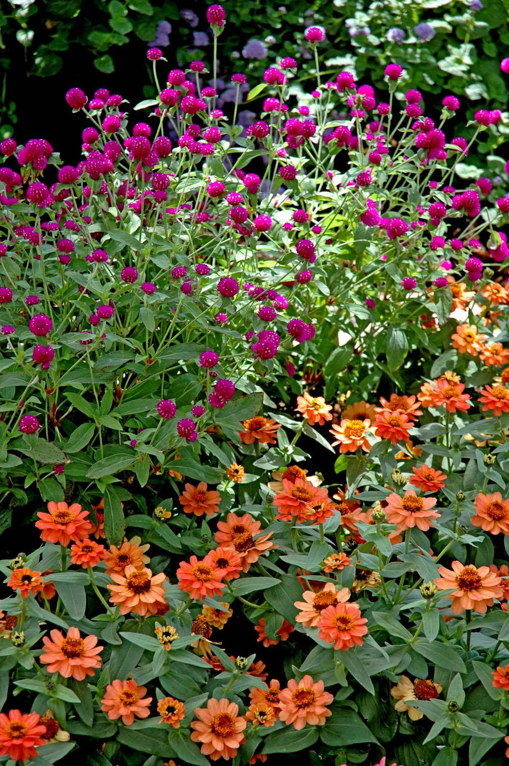 New Profusion Zinnias Will Arrive This Spring Mississippi State