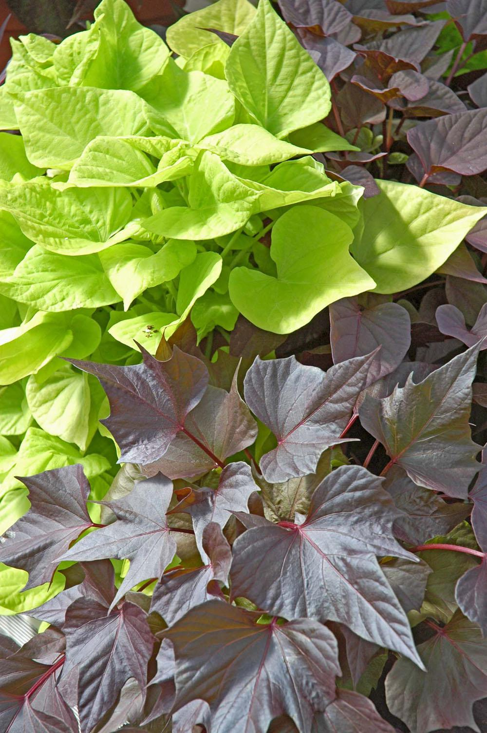 These two ornamental sweet potatoes are perfect companions in the home landscape. The heart-shaped, lime-green leaves of Sweet Caroline Sweetheart shine brightly beside the purplish-black, almost maple-leaf shapes of this year's new selection called Bewitched.