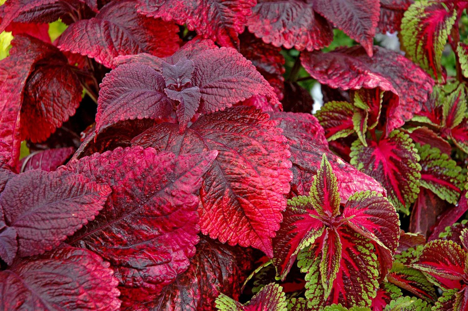 Search for these top plants in 39 07 mississippi state university extension service - Plante a feuille rouge ...