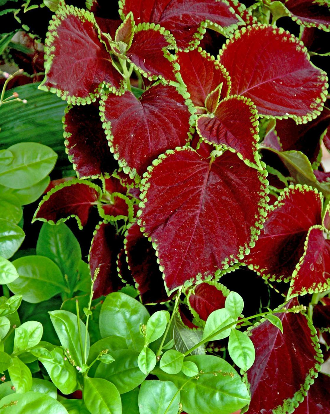 Chocolate Mint Coleus Offers Incredible Beauty Mississippi State