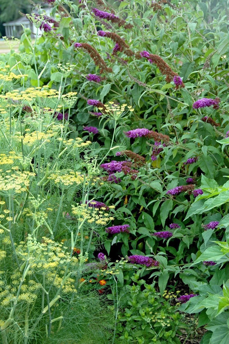 This combination planting of dill and Black Knight buddleia has it all: wonderful fragrance and incredible nectar for butterflies and hummingbirds. The dill also provides a larval food source for the swallowtail butterfly.