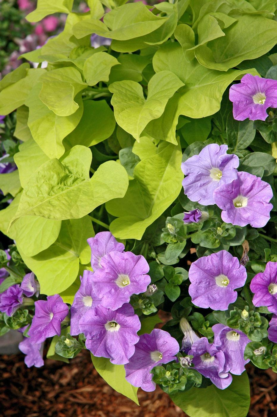 This Sky Blue Surfinia petunia partners well with a Desana Lime sweet potato. Together they will fill and spill over this container's sides all summer long. (Photos by Norman Winter)