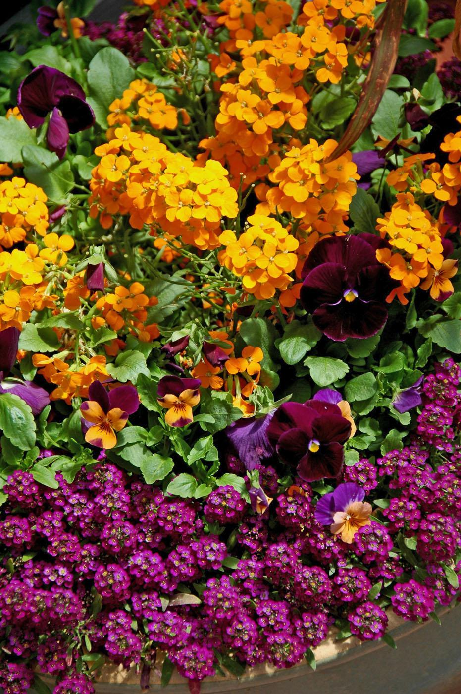 This cool season container has Citrona orange in fiery contrast with the purple from Matrix pansies and alyssum. Sorbet Sunny Royale viola either harmonizes or contrasts with every other plant in the container. Easter Bonnet alyssum softly tumbles over the rim. (Photo by Norman Winter)