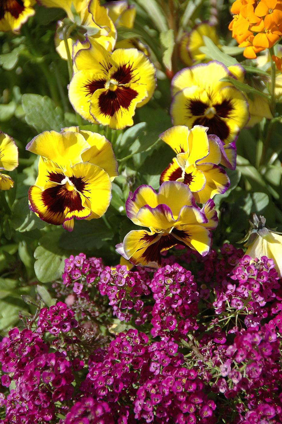 The Fizzy Lemonberry is a new pansy mix that is predominantly a cheerful yellow with a dark blotch and ruffled, picotee edges that are dark purple.