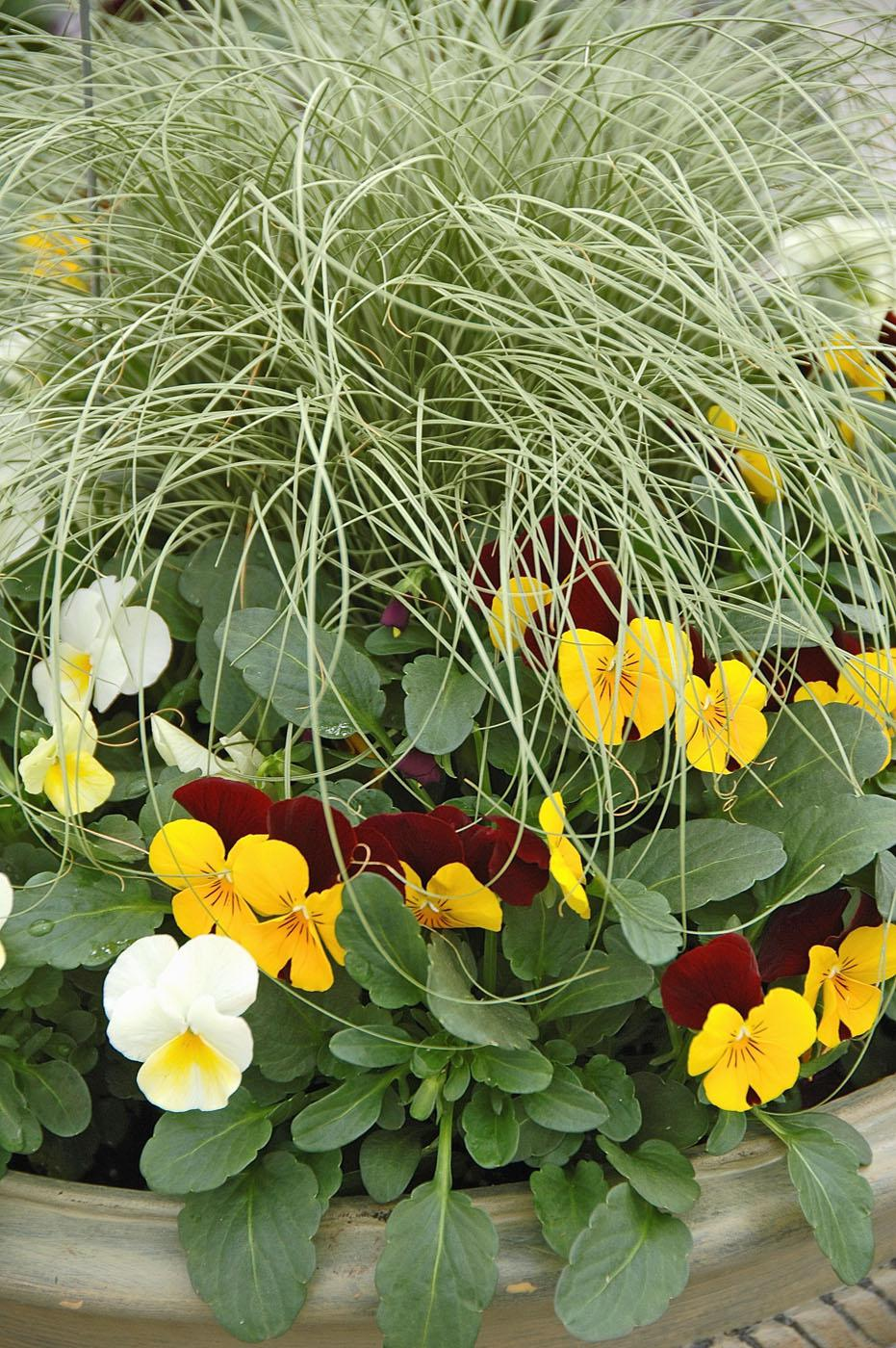 Penny violas and ornamental grasses make great cool-season mixed containers. Here a few Penny colors are mixed with the long stems of the carex.