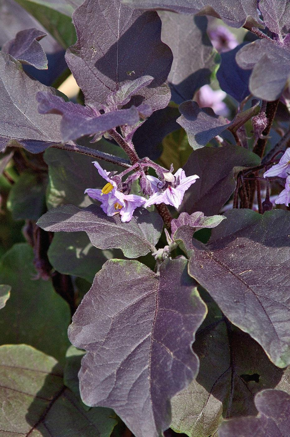 Slim Jim eggplant offers exceptional dark purple foliage and iridescent lavender-violet blossoms and can be grown as an ornamental. (Photo by Norman Winter)
