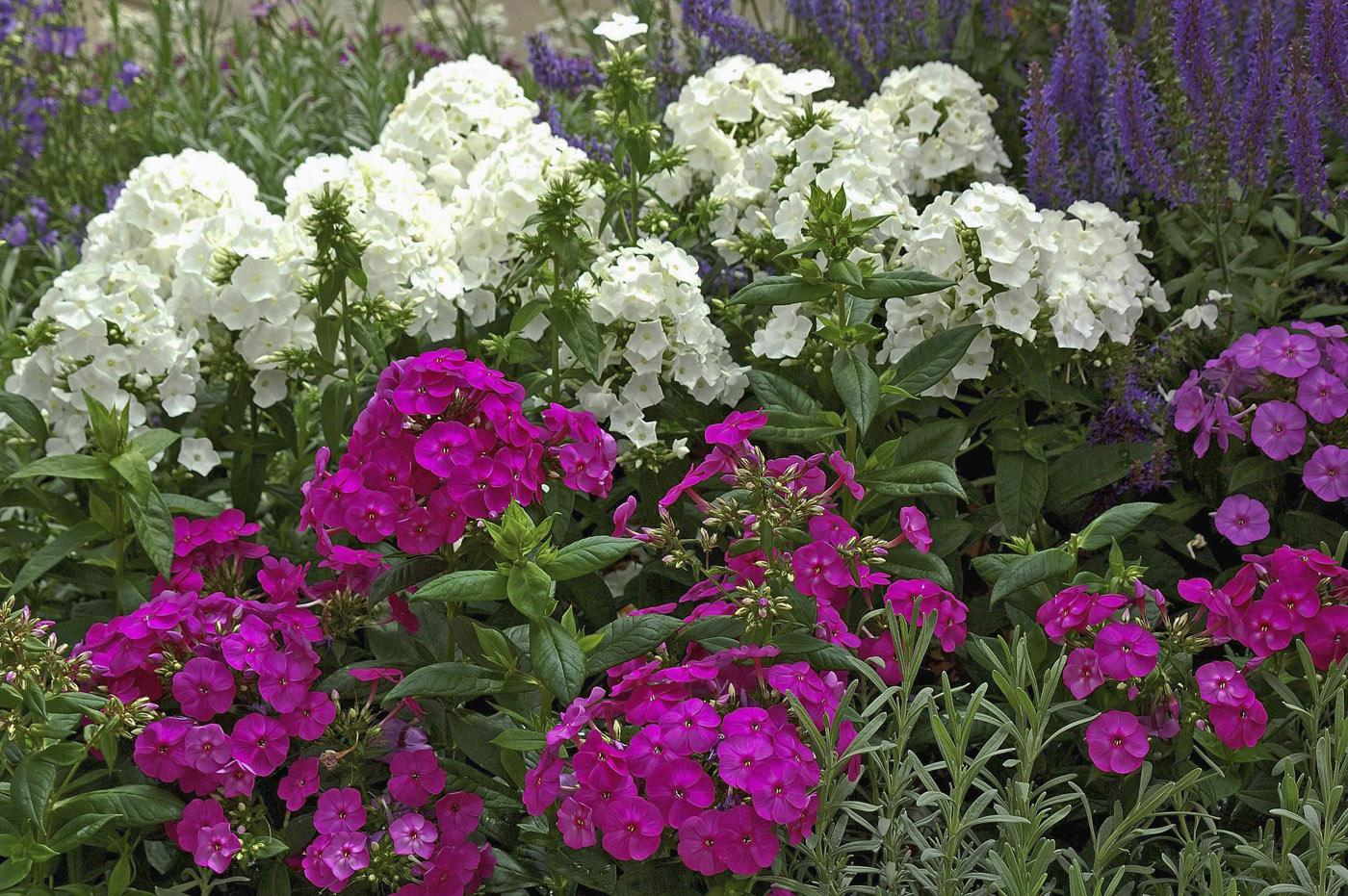 Perennial phlox bloom from the end of May through the first frost and are available in more than 100 varieties. These Peacock series phlox combine well with the rich colors of salvias. (Photo by Norman Winter)