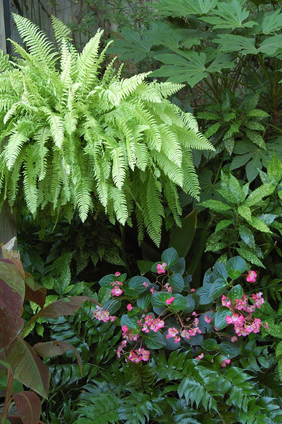 A Blonde fern glows like a lantern in this shady environment. This stunning display combines large, palmate-leafed fatsia; aucuba with spots that echo the color of the fern; Siam Ruby banana with lime green variegation; holly fern; and hot pink begonias. (Photo by Norman Winter)