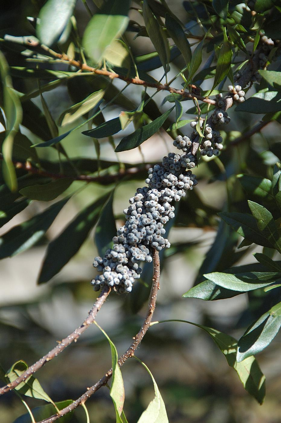 The wax myrtle produces thousands of small, waxy, blue berries that feed around 40 species of birds.
