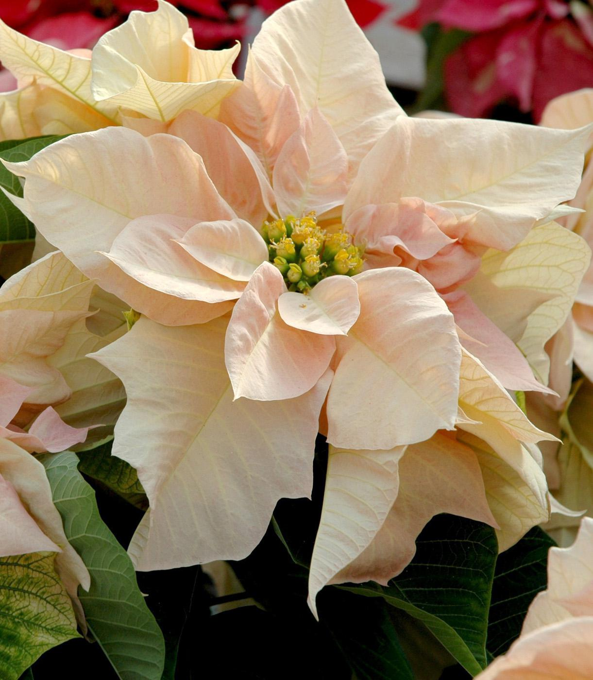 Visions of Grandeur is mesmerizing with its shades of rose pink, cream and yellow. It is elegant, fit for royalty and will make you want to do whatever it takes to get one. (Photo by Norman Winter)
