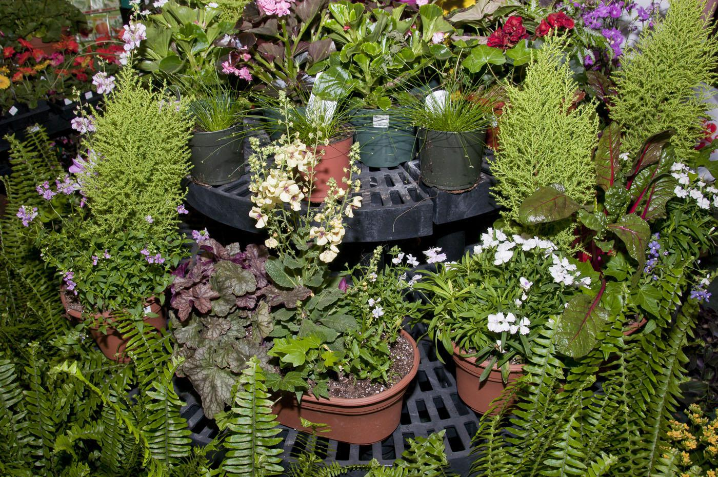 Beautiful plants are healthy plants. Start by buying good specimens, prepare the planting bed carefully and keep them watered appropriately. (Photo by Scott Corey)