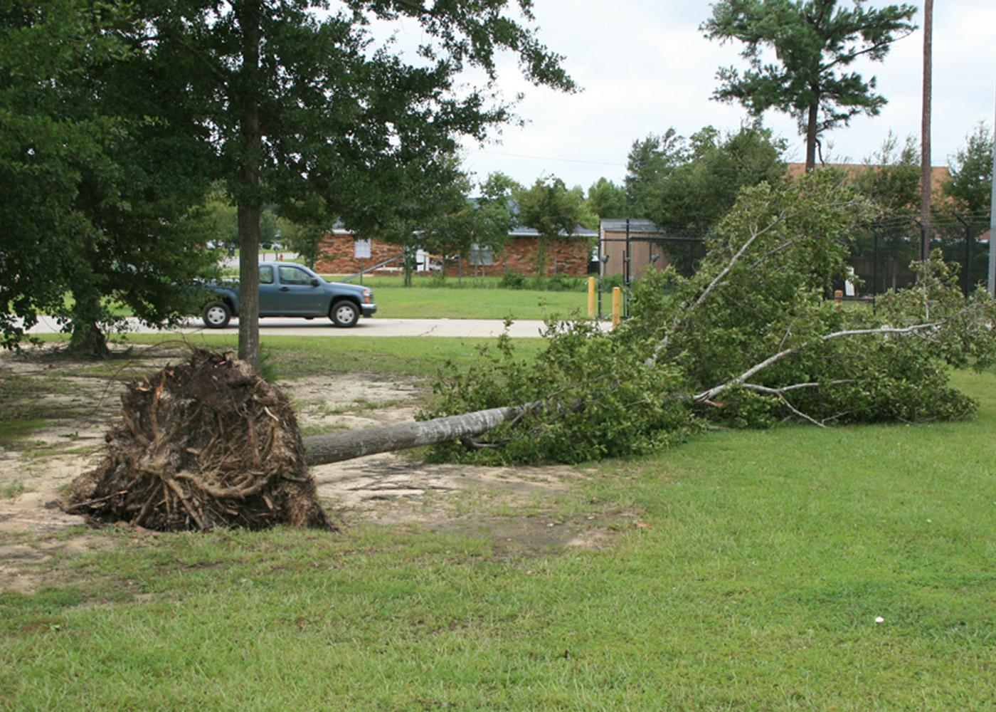 Some trees put down deep roots, but most of the root system is in the top 12 to 14 inches of soil. This tree, with its roots ripped out of the ground, has little chance of recovery. Trees can heal themselves after storm damage in a process called compartmentalization.