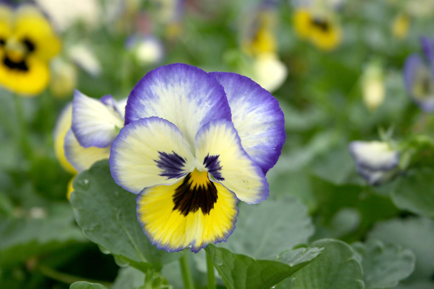 Pansies come in a virtual rainbow of colors, ranging from yellow and purple to blue and white.