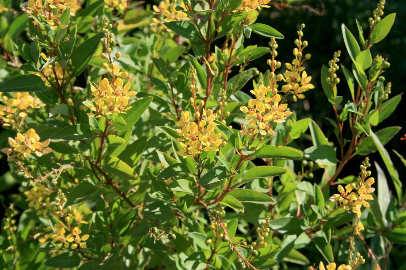 Golden Thryallis has bright, cheery clusters of yellow flowers that bloom from early June through the fall. Rusty reddish-brown branches provide a nice background for the flowers. The plant performs best in full sun. (Photo by Gary Bachman)