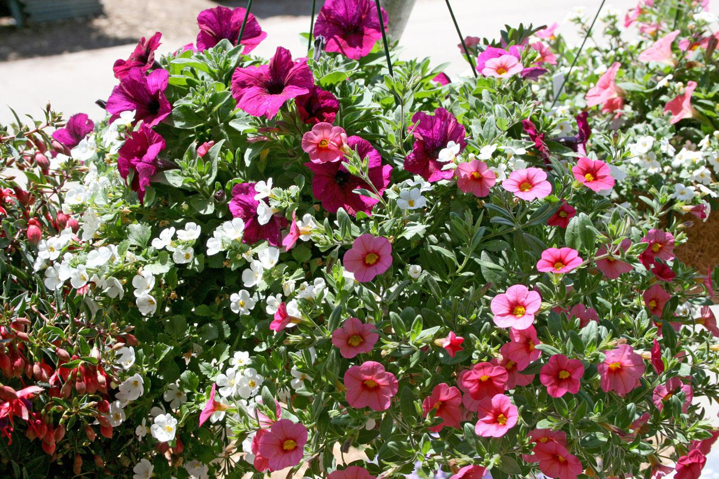 Practice arranging plants while visiting local garden centers. The results can make for beautiful arrangements, like this Giant White bacopa, Painted Coral calibrachoa and Lobster Potunia mix. (Photo by Gary Bachman)