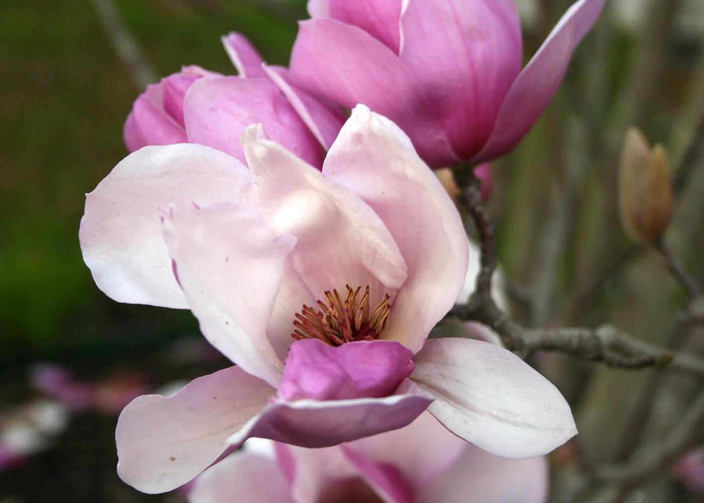 The exotic saucer magnolia, with its beautiful flowers and fragrance, is the most popular of the flowering magnolias. (Photo by Gary Bachman)