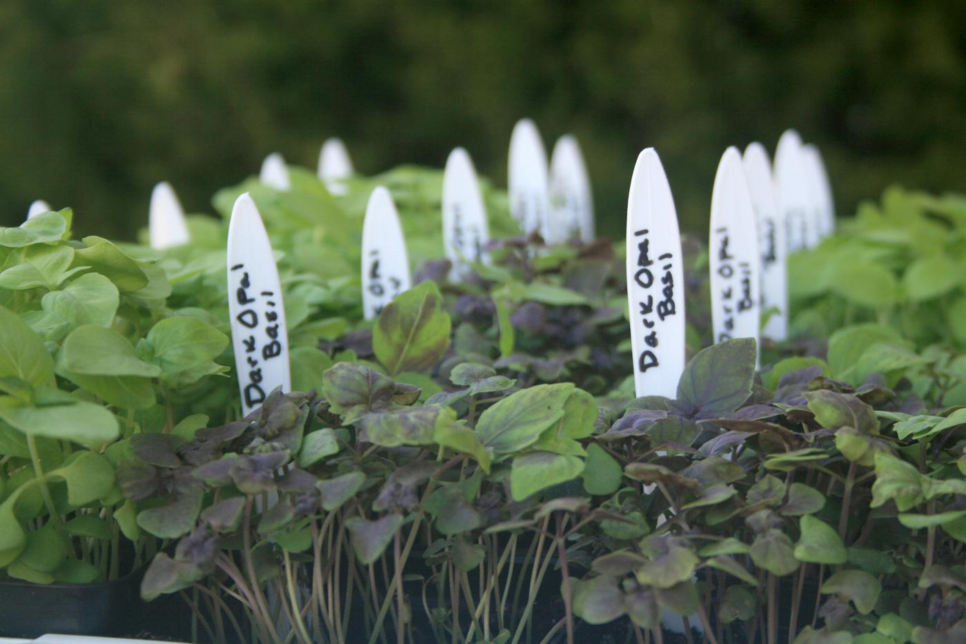 Be creative when making plant tags for the garden. These plastic knives are just right for plant identification.